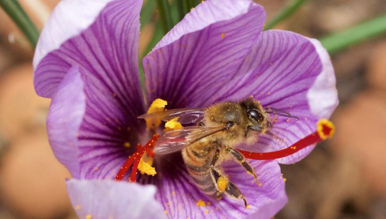 Crocus sativus (plante mère du safran) © Nicolas Hamel